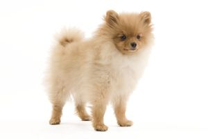 LA-7345 Dog - Dwarf Spitz / Pomeranian - 6 month old puppy - orange colourting