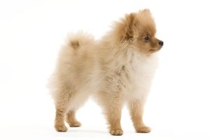 LA-7346 Dog - Dwarf Spitz / Pomeranian - 6 month old puppy - orange colourting