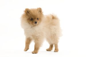 LA-7347 Dog - Dwarf Spitz / Pomeranian - 6 month old puppy - orange colourting