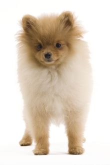 LA-7348 Dog - Dwarf Spitz / Pomeranian - 6 month old puppy - orange colourting