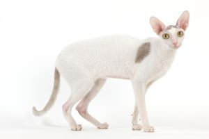 LA-7446 Cat - Siamese - Blue point & white - 8 months old in studio