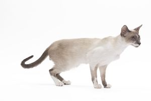LA-7447 Cat - Siamese - Blue point & white - 8 months old in studio