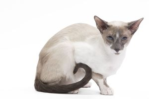 LA-7448 Cat - Siamese - Blue point & white - 8 months old in studio
