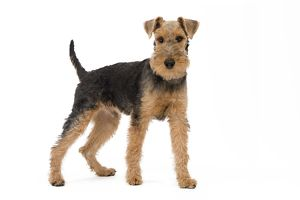 LA-7454 Dog - Welsh Terrier in studio