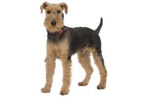 LA-7455 Dog - Welsh Terrier in studio
