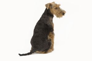 LA-7456 Dog - Welsh Terrier in studio