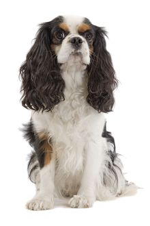 LA-7457 Dog - Cavalier King Charles Spaniel - in studio