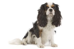 LA-7458 Dog - Cavalier King Charles Spaniel - in studio
