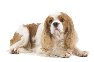 LA-7459 Dog - Cavalier King Charles Spaniel - in studio