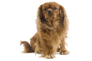 LA-7460 Dog - Cavalier King Charles Spaniel - in studio