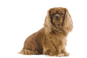 LA-7461 Dog - Cavalier King Charles Spaniel - in studio