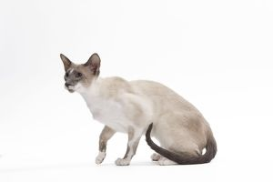 LA-7462 Cat - Siamese - Blue point & white - 8 months old in studio