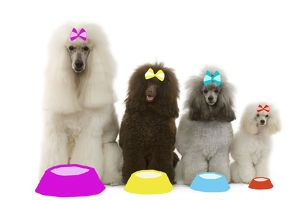 LA-7527 Dog - Poodles - Standard, Moyen, Minature / dwarf & toy wearing bows with dog bowls in studio