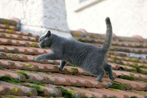LA-7529 Cat - Chartreux walking on roof