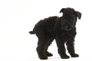 LA-7570 Dog - Kerry Blue Terrier - in studio