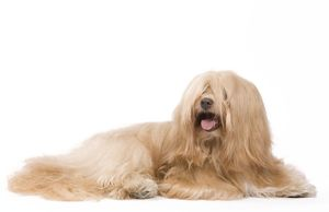 <b>Havanese</b><br>Selection of 96 items