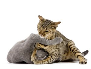 LA-7644 Cat - Bengal - Brown spotted in studio play fighting with grey cat