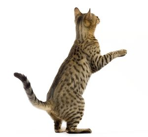 LA-7647 Cat - Bengal - Brown spotted in studio on hind legs