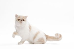 LA-7658 Cat - Exotic shorthair