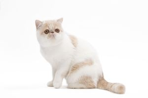 LA-7659 Cat - Exotic shorthair in studio