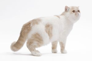 LA-7660 Cat - Exotic shorthair in studio