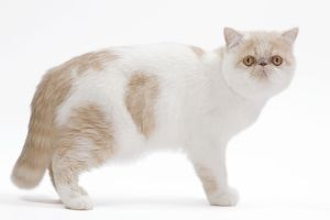 LA-7661 Cat - Exotic shorthair in studio