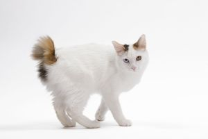 LA-7669 Cat - Japanese Bobtail in studio - different colour eyes