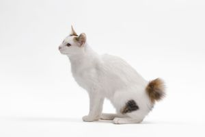 LA-7671 Cat - Japanese Bobtail in studio - different colour eyes