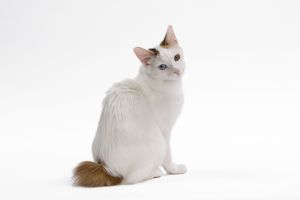 LA-7673 Cat - Japanese Bobtail in studio - different colour eyes