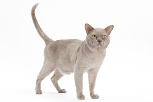 LA-7686 British Burmese Cat - in studio