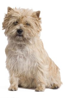 LA-7716 Dog - Cairn Terrier in studio