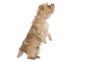 LA-7717 Dog - Cairn Terrier in studio on hind legs