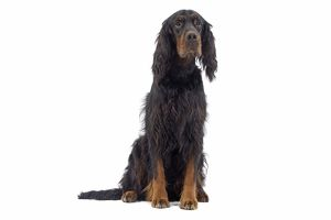 LA-7731 Dog - Gordon Setter sitting in studio