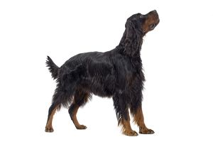 LA-7732 Dog - Gordon Setter in studio
