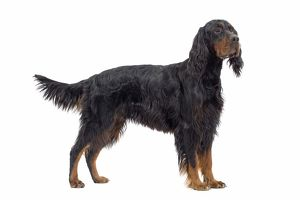 LA-7733 Dog - Gordon Setter in studio