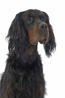 LA-7734 Dog - Gordon Setter in studio