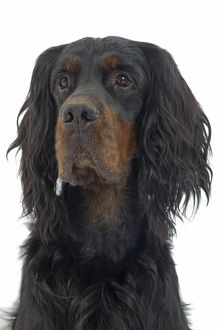 LA-7735 Dog - Gordon Setter in studio