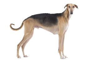 LA-7746 Dog - Polish Greyhound