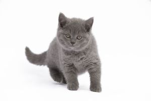 LA-7775 Cat - Chartreux kitten in studio