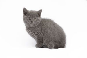 LA-7776 Cat - Chartreux 8 week old kitten in studio