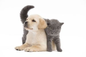 LA-7777 Cat - Chartreux 8 week old kitten in studio with Labrador puppy