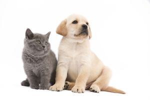 LA-7778 Cat - Chartreux 8 week old kitten in studio with Labrador puppy