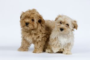 LA-7822 Dog - Bichon Havanais / Havanese puppies in studio