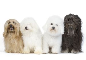 LA-7830 Dogs - Bichon Havanais / Havanese, Bichon Frise and Löwchen / Little Lion