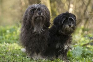 LA-7836 Dog - Löwchen / Little Lion Dog - adult and six month old puppy