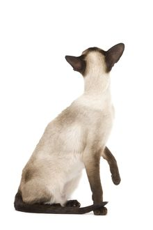 LA-7919 Cat - Siamese in studio - seal point colouring