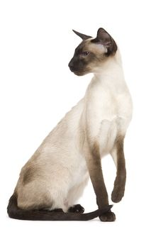 LA-7920 Cat - Siamese in studio - seal point colouring