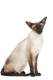 LA-7921 Cat - Siamese in studio - seal point colouring