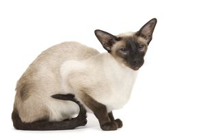 LA-7922 Cat - Siamese in studio - seal point colouring