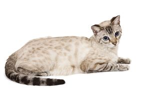LA-7926 Cat - Bengal - Snow seal lynx spotted tabby in studio